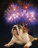 Bulldog contemplating fireworks